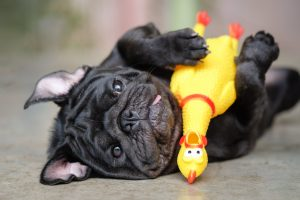 Pug holding chew toy